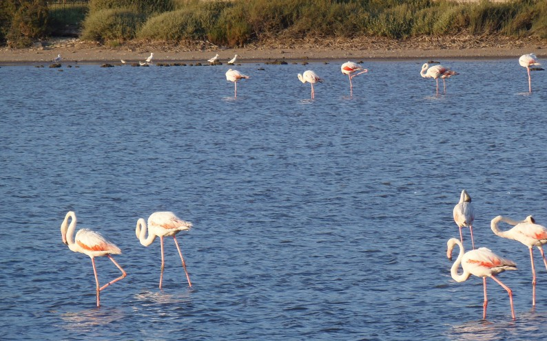 Fenicotteri nel Sud della Sardegna